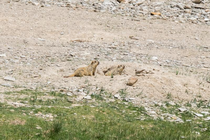 Marmotta intorno all'area vicino al lago tso Moriri in Ladakh, India fotografia stock libera da diritti
