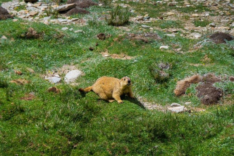 Marmotta intorno all'area vicino al lago tso Moriri in Ladakh, India fotografie stock