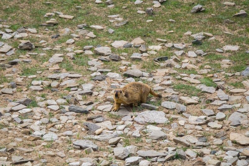 Marmotta intorno all'area vicino al lago tso Moriri in Ladakh, India Le marmotte sono grandi scoiattoli in tensione nell'ambito d fotografie stock libere da diritti