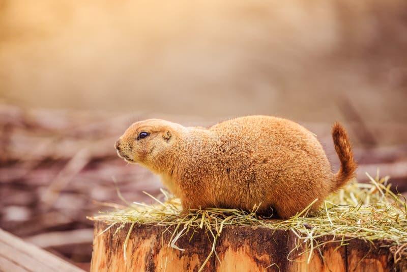 Marmotta nello zoo, ora legale fotografia stock