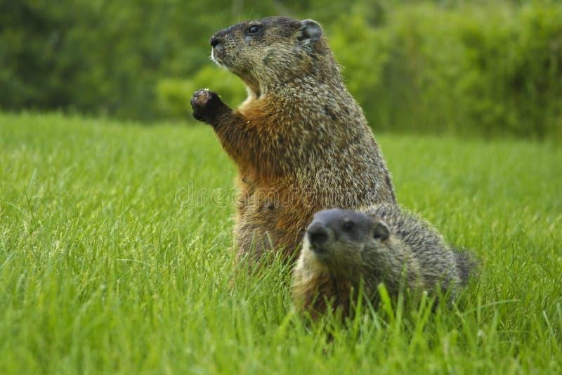 Marmotta nordamericana immagine stock