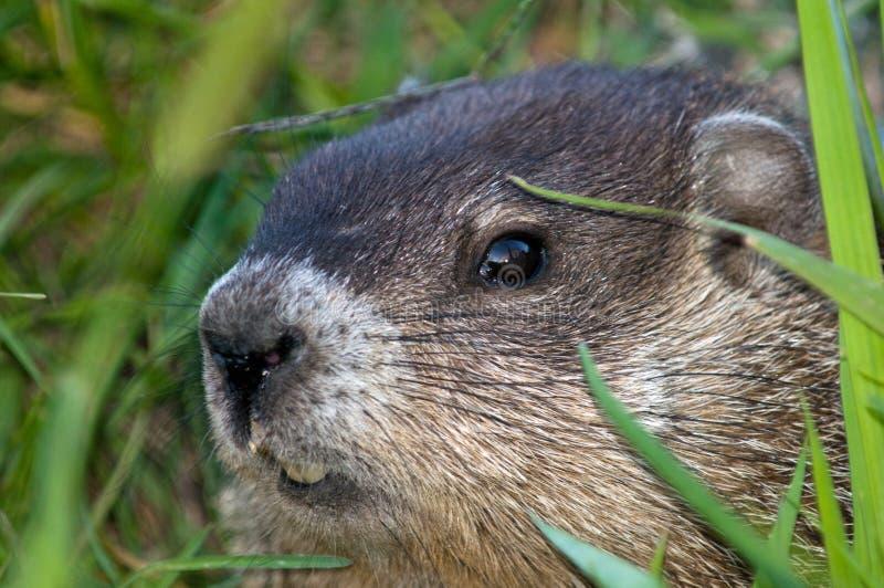 Marmotta nordamericana che scruta fuori fotografia stock libera da diritti