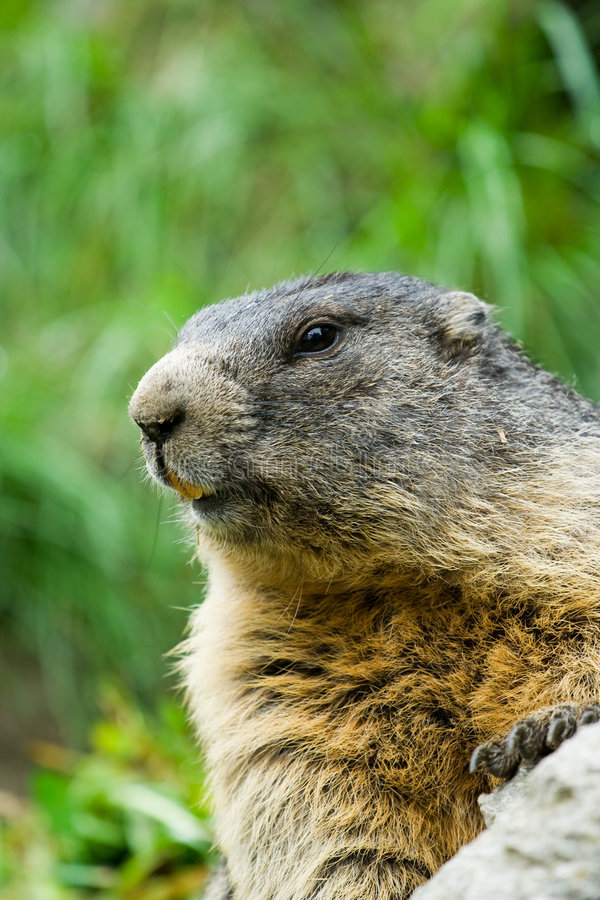 Marmotta sveglia fotografia stock