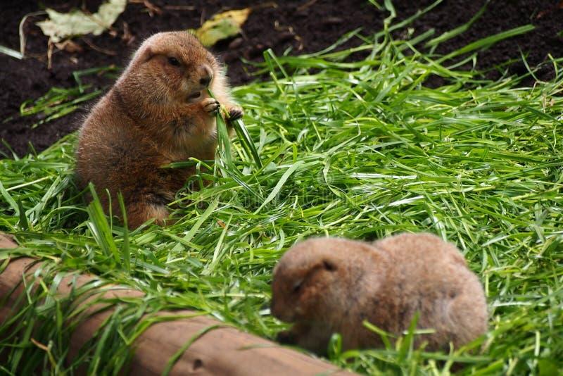 Marmotta in zoo fotografie stock libere da diritti