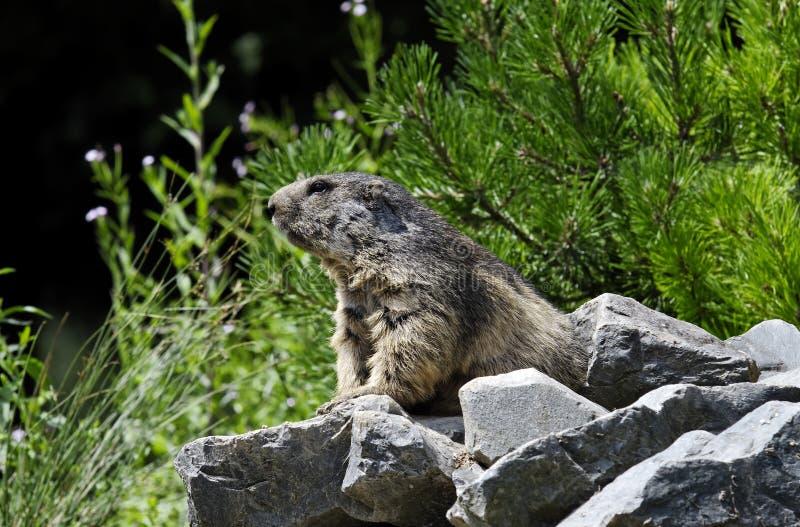Marmotte Photographie stock