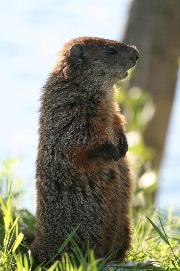 Marmotte 6 photo stock