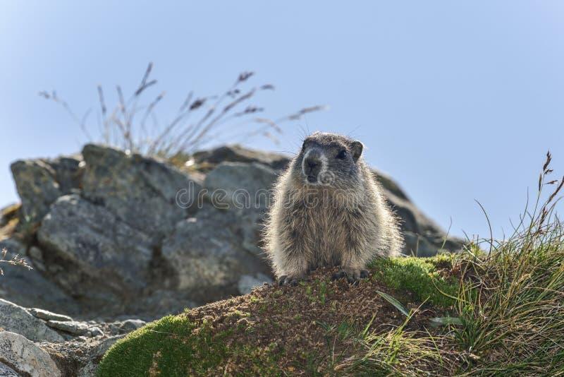 Marmotte alpestre photo stock