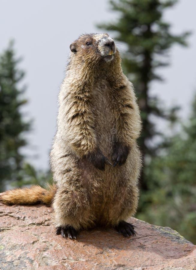 Marmotte blanchie photo libre de droits