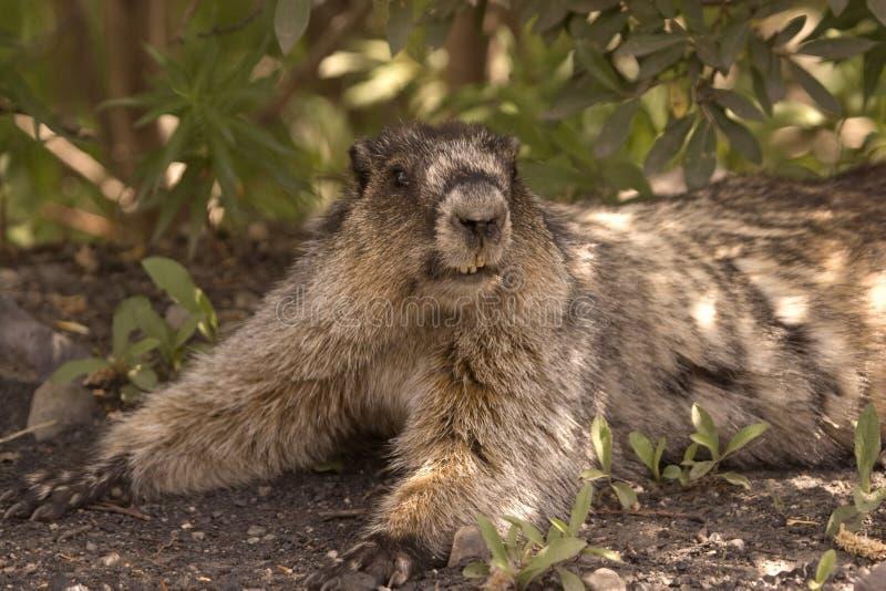 Marmotte blanchie. photographie stock libre de droits