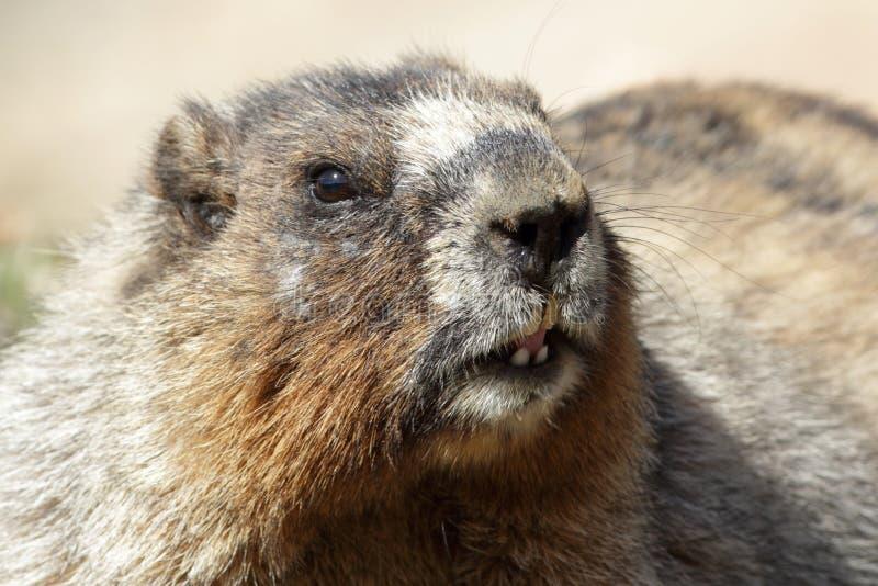 Marmotte blanchie - stationnement national de jaspe, Alberta photos stock