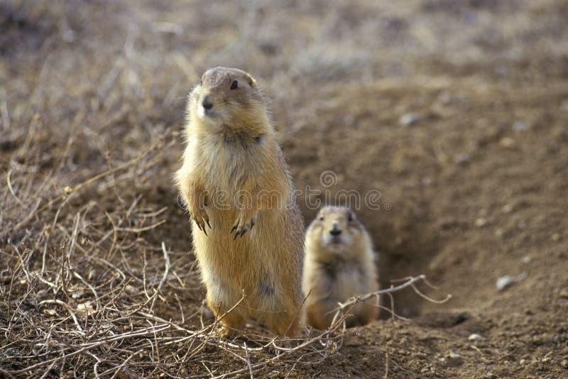 Marmotte, città della marmotta, monumento dello stato, Greycliff, la TA fotografie stock