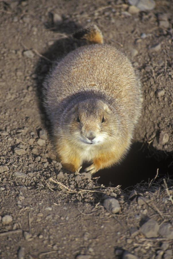 Marmotte, città della marmotta, monumento dello stato, Greycliff, la TA immagine stock