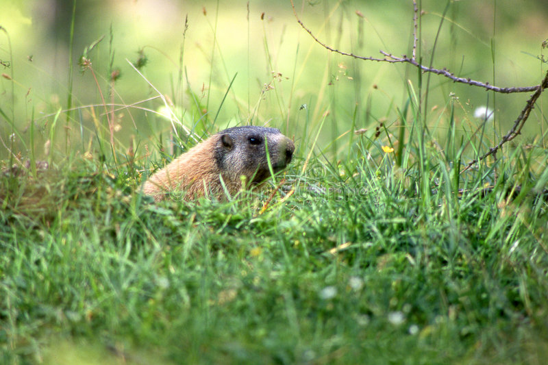 Marmotte Dans L Herbe Photos stock