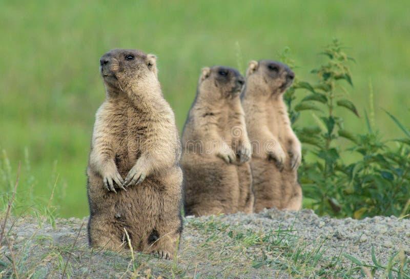 Marmotte dans le pré images libres de droits