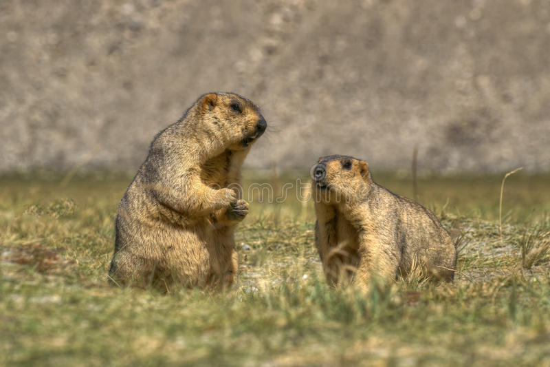 Marmotte himalayane - himalayana del Marmota, paio, fauna selvatica del ladakh, il Jammu e Kashmir, India immagine stock