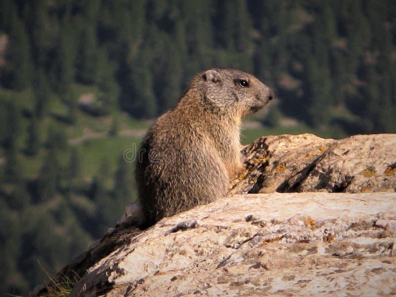 Marmotte sauvage maintenant une surveillance sur une roche dans la Suisse images libres de droits
