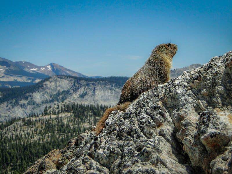 Marmotte sur le paysage dramatique du mont Hoffman, parc national Yosemite, Californie, États-Unis d'Amérique images stock