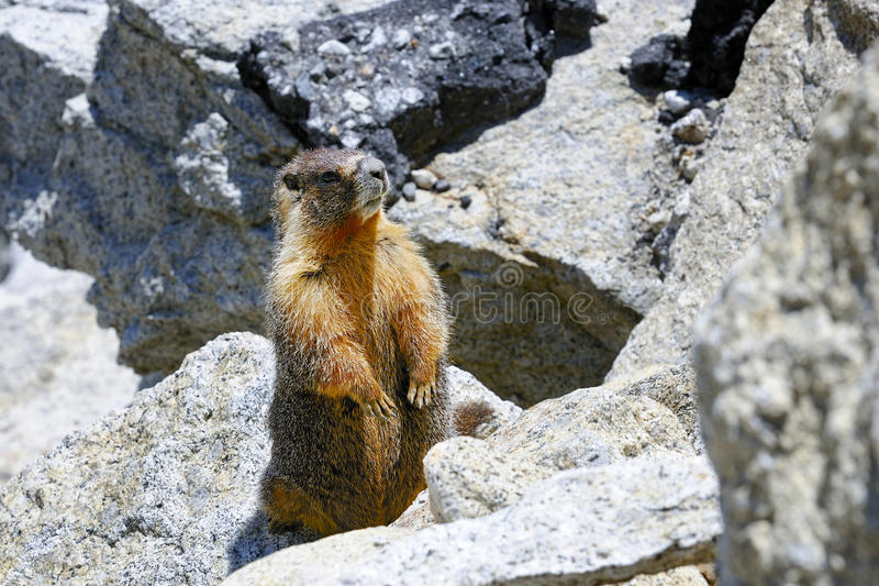 Marmotte Yellow-bellied, stationnement national de yosemite image libre de droits