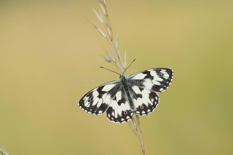 Marmurkowaty biały motyl z rozszerzaniem się uskrzydla na trawa sterze fotografia royalty free