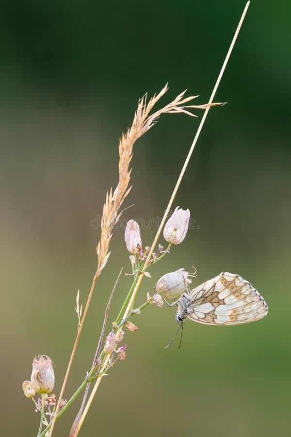 Marmurkowaty Biały motyli dosypianie na suchym trawy zbliżeniu zdjęcia stock