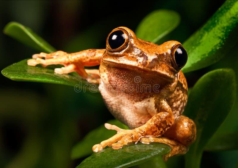 Marmurowa trzcinowa żaba zdjęcie royalty free