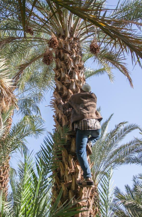 Marockansk man som klättrar en palmträd och samlar data arkivfoto