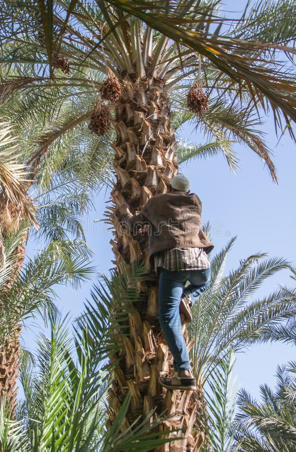 Marokkaanse mens die een palm beklimmen en data verzamelen stock foto