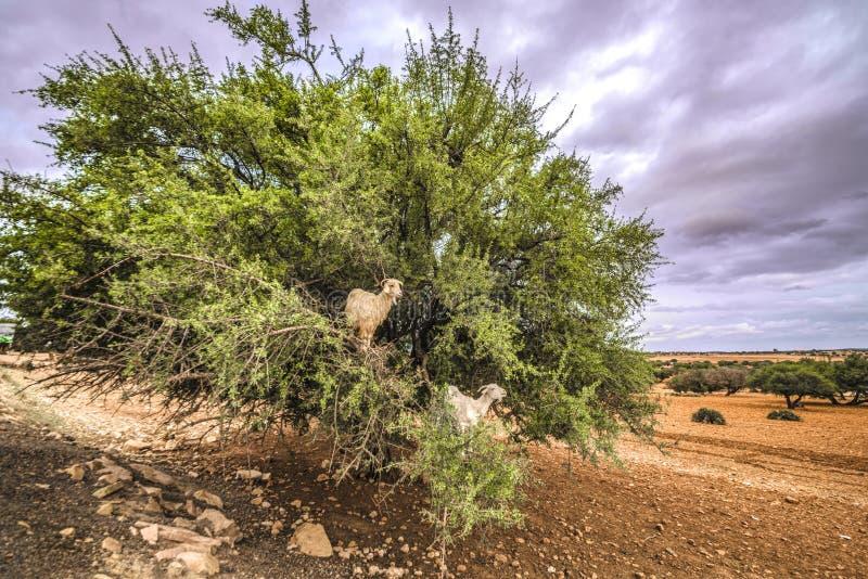 Maroko, autostrady Marrakech widok dwa kózki siedzi w zielonym drzewie w wsi wzdłuż autostrady, zdjęcie royalty free