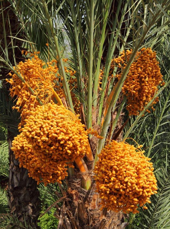Maroko, organicznie daty na drzewku palmowym zdjęcie royalty free