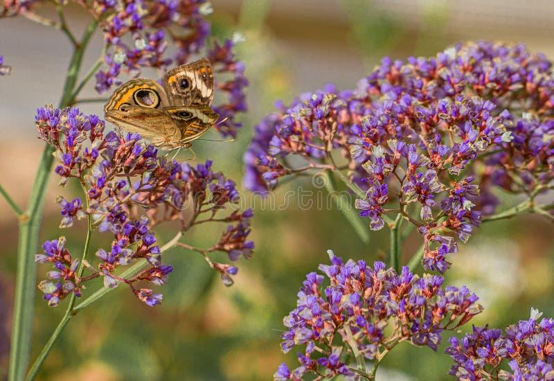 Maronnier américain commun, coenia de Junonia, papillon sur Nectar Flowers pourpre dans le désert de l'Arizona photos stock