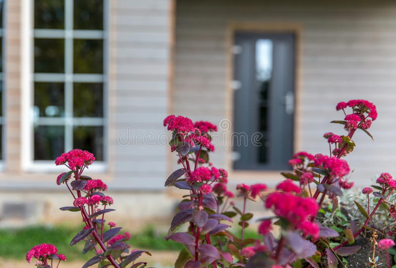 Maroon autumn flowers in the garden on the background of a beautiful wooden house. Scandinavian style royalty free stock images