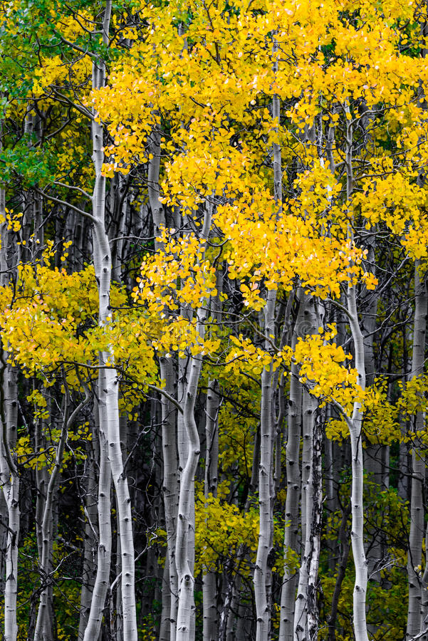 Maroon bells forest - colorado aspen autumn fall colors royalty free stock images