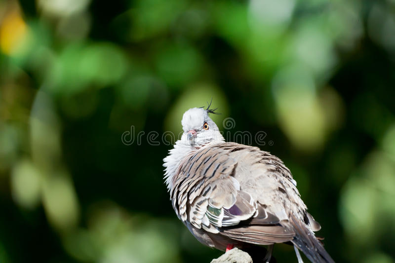 Download Maroon-breasted stock photo. Image of beak, peafowl, breast - 25532104