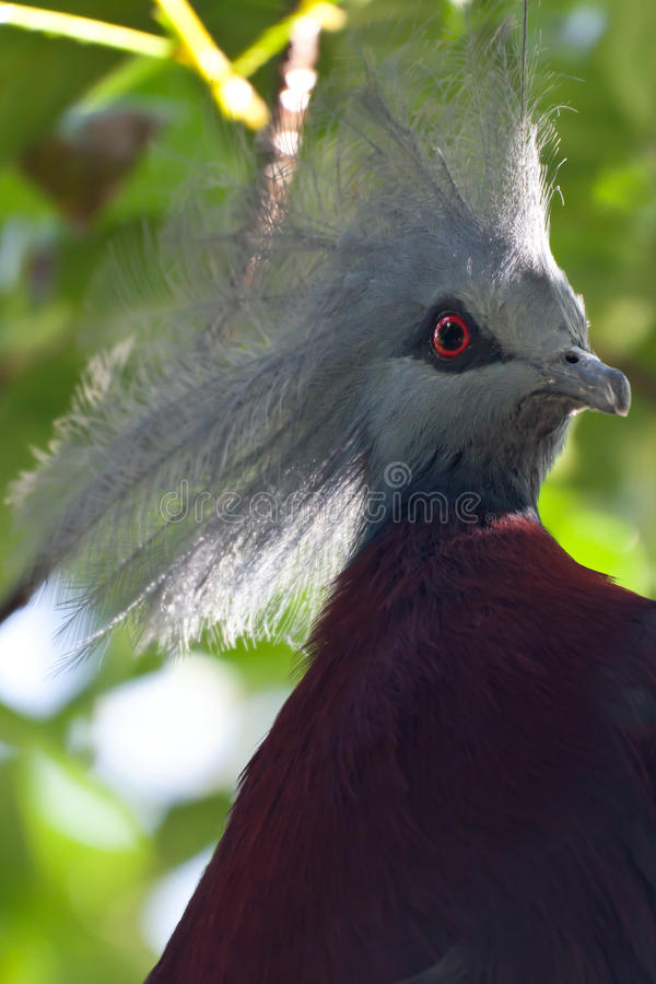 Maroon-breasted crowned pigeon royalty free stock image