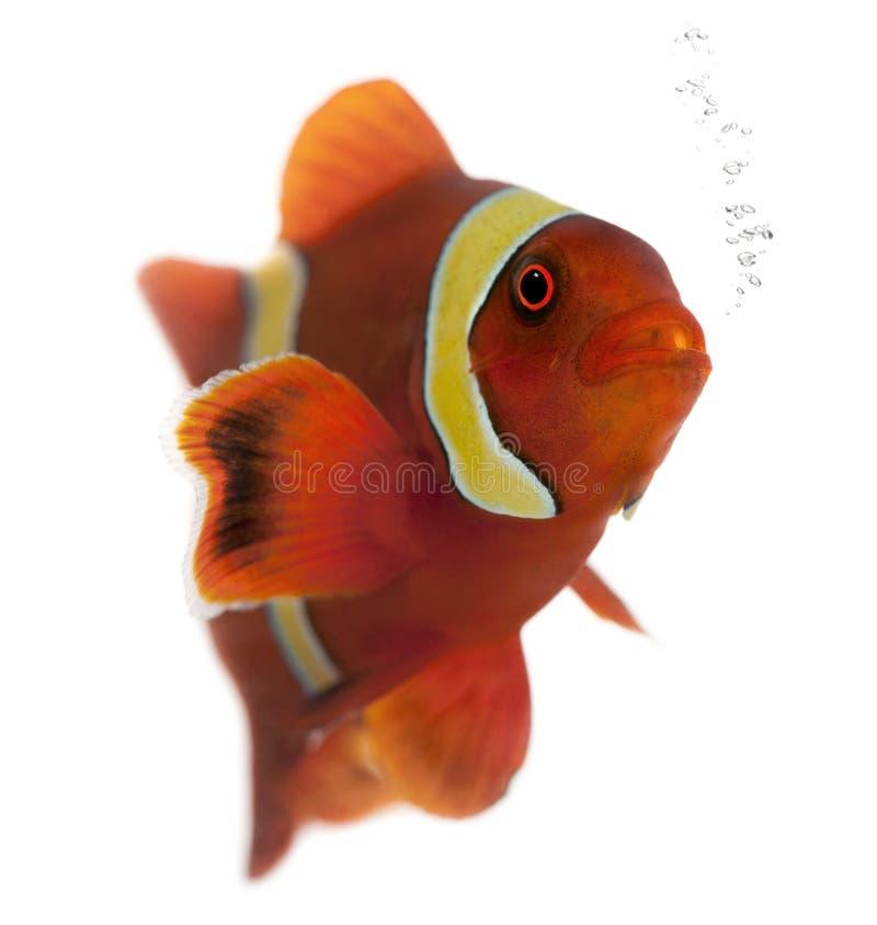 Free Maroon Clownfish, Premnas Biaculeatus Royalty Free Stock Photography - 16563237
