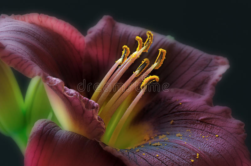 Maroon Day Lily royalty free stock image