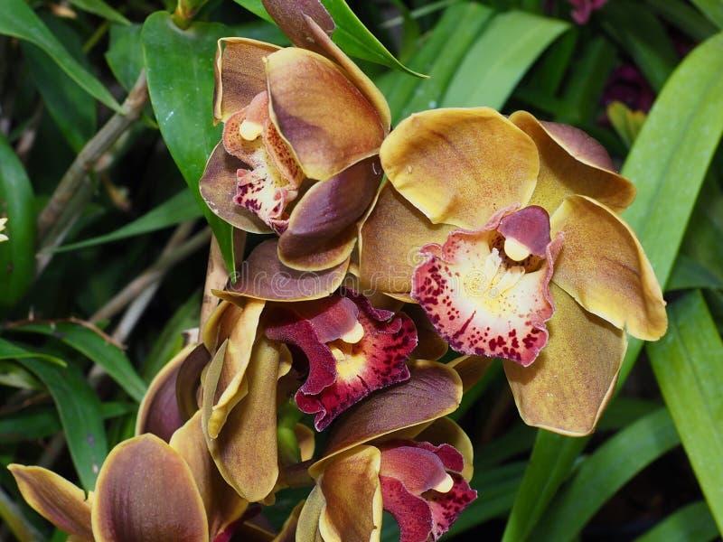 Maroon E Yellow Dendrobium Orchid fotografia stock