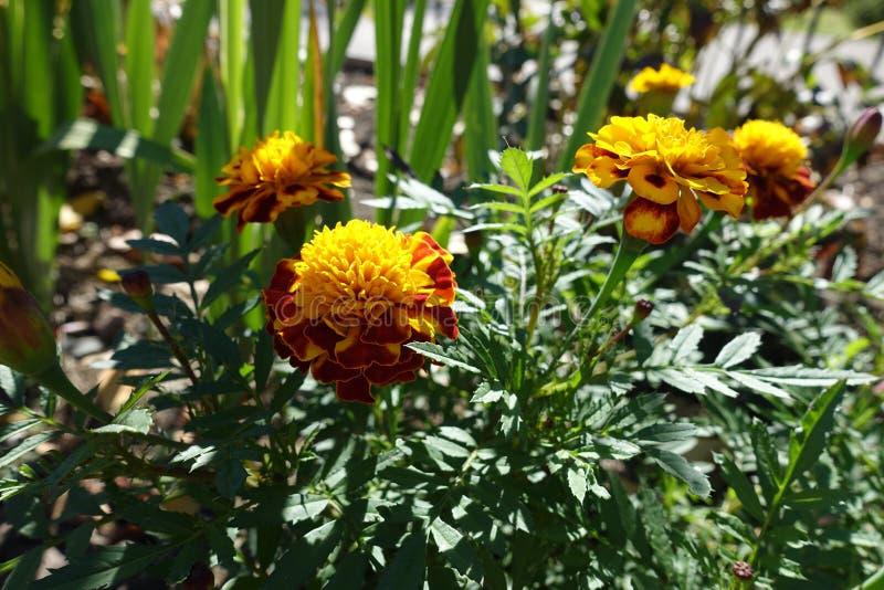 Maroon et fleurs jaunes de Tagetes patula photographie stock libre de droits