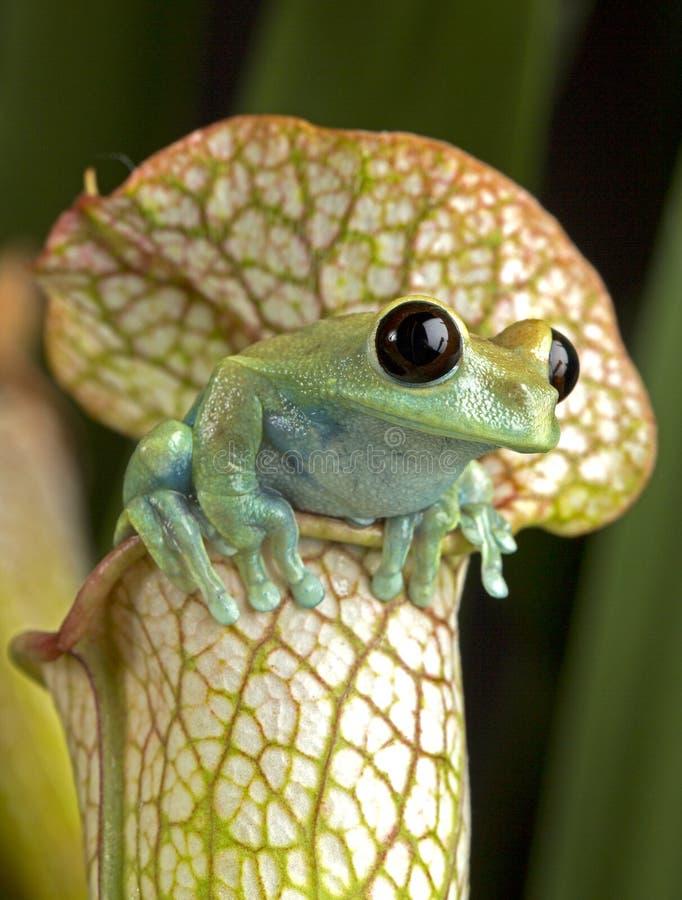 Maroon Eye Tree Frog stock photo