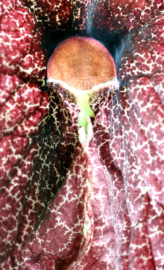 Download Maroon Orchid Royalty Free Stock Photo - Image: 13221005
