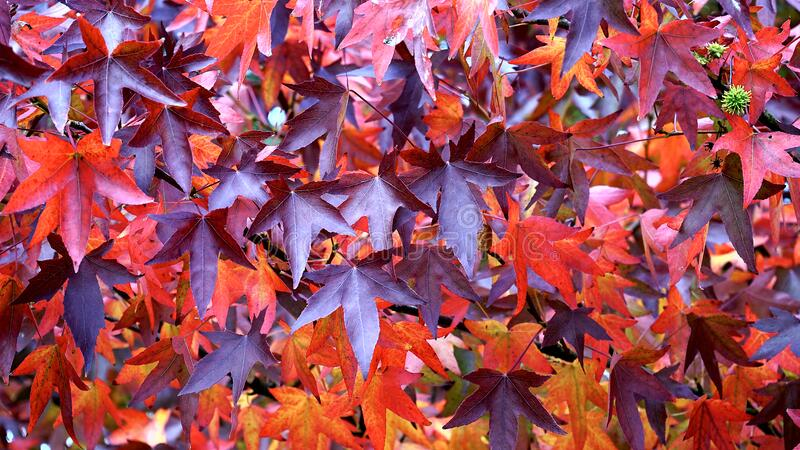 Maroon and Red Leaf in Close Up Photography royalty free stock image