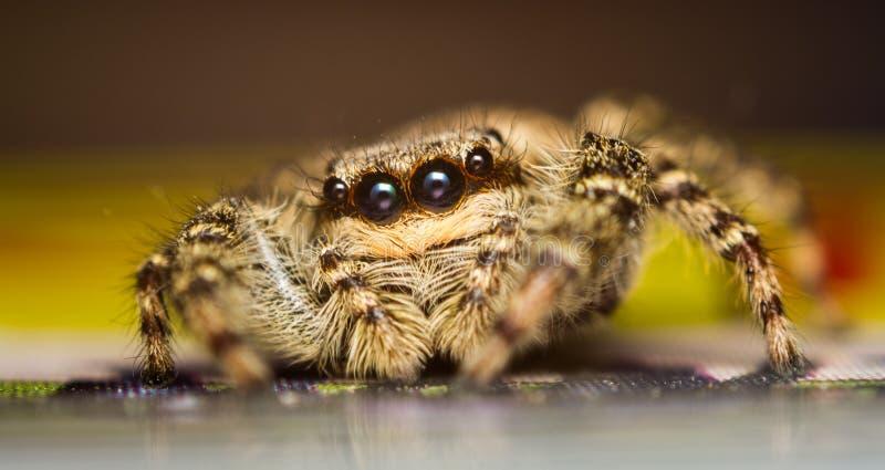 Marpissa muscosa跳跃的蜘蛛 免版税图库摄影