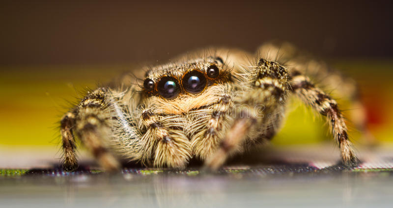 Marpissa muscosa jumping spider. A marpissa muscosa jumping spider royalty free stock photography