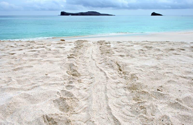 Marques d'entrave de tortue de mer, îles de Galapagos photos libres de droits
