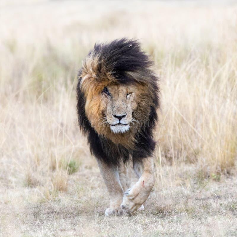 Marquez le lion dans la prairie du masai Mara photo stock