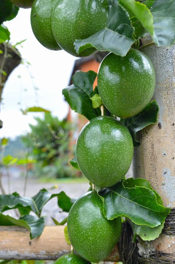 Marquisa Telur Kodok passionfrukt i Bali fotografering för bildbyråer