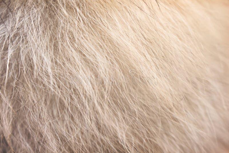 Marrón claro con la textura pomeranian mullida blanca de los modelos de la piel del perro para el fondo imagen de archivo