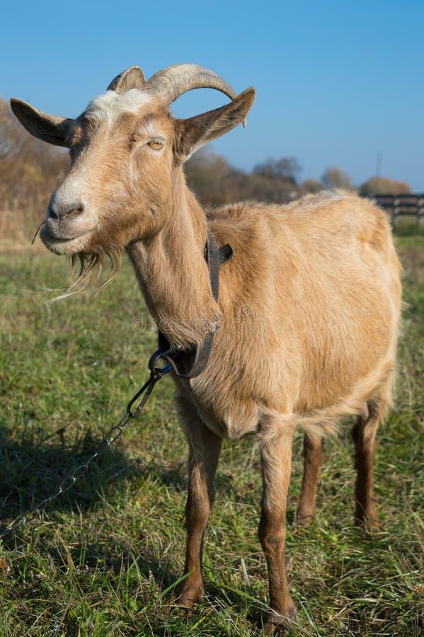 Marrón feliz de la cabra imagen de archivo libre de regalías