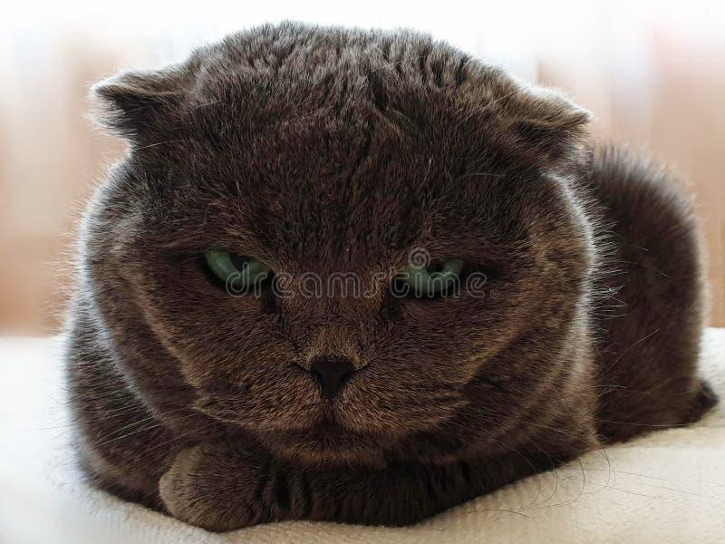 Marrón lindo de Cat British Cat Dark con el planeta animal de los ojos verdes en el fondo blanco foto de archivo libre de regalías
