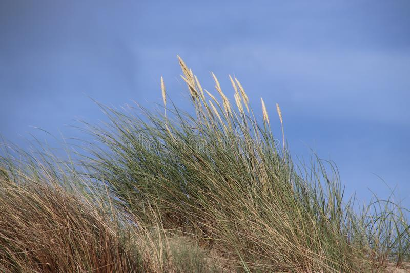 Marram grass in the dunes at the beach of Monster at the North Sea in the Netherlands. royalty free stock photo